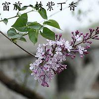 窗前一株紫丁香