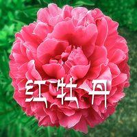 《红牡丹》(粤语评书)